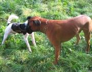 Hundebetreuung.co.at - Deutscher Boxer