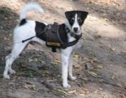 Parson Jack Russell Terrier - Parson Jack Russell Terrier sind im Allgemeinen eine gesunde und robuste Rasse.