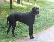 Deutsche Dogge - Schon vor über 4000 Jahren besaßen die Assyrer große, schwerfällige, stumpfschnauzige, kurz behaarte Kampfhunde, die als Stammeltern der Deutschen Dogge sowie der Englischen Bulldogge, des Mastiffs und der Bordeauxdogge angesehen werden können.