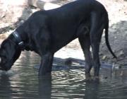 """Deutsche Dogge - Seit mehr als 100 Jahren verwendet man für die Deutsche Dogge insbesondere auf internationalen Ausstellungen u. a. den Begriff """"Großer Däne"""