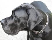 Deutsche Dogge - Die Deutsche Dogge besitzt eine Sensibilität wie kaum eine andere Hunderasse. Sie kann die Körpersprache ihres Herrchens so genau lesen, dass man vermuten könnte ihre innere Bindung zum Menschen sei stärker als alles andere.