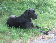Deutsche Dogge - Besonders auf Grund ihrer Größe neigen Doggen zu bestimmten rassespezifischen Erkrankungen. Dazu gehören vor allem die dilatative Cardiomyopathie (kurz DCM, Herzmuskelerkrankung), Hüftgelenksdysplasie sowie Magendrehung und Knochenkrebs.