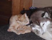 Hunde - Katzen / Sie lieben sich wie Hund und Katz. Doch die Ironie dieses Sprichwortes ist sprichwörtlich falsch. Denn Hund und Katz können sich sehr wohl vertragen - es kommt nur darauf an, wie die Zweibeiner sich bei der Vermählung dieses ungleichen Paares anstellen.