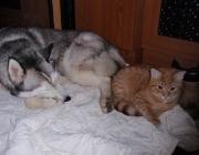 Hunde - Katzen / Am einfachsten ist es natürlich, wenn ein Kätzchen und ein Welpe gemeinsam aufwachsen. Schnell haben die beiden ihre unterschiedlichen Körpersprachen gelernt.