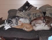 Hunde - Katzen / Begegnungen von Hund und Katze hat die Natur nicht vorgesehen. Sie haben unterschiedliche Lebensräume so wie jeweils verschiedene Beute im Auge.
