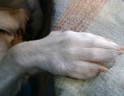 Hundebetreuung Wien / Anatomie Hundepfote - Die Vorderpfoten des Hundes sind grundsätzlich größer als die Hinterpfoten, da sie ein größeres Gewicht zu tragen haben. Größere Hunderassen haben größere Pfoten als kleinere Hunderassen. Die Hundepfote dient als Stoßdämpfer, Duftverbreiter ( Duftdrüsen) und der Fortbewegung.
