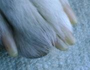Hundebetreuung Wien / Krallen - Die Haut, aus der sie gebildet werden ist jedoch sehr stark mit Blut versorgt. Blutgefäße und Nerven ragen in die Krallen hinein, so dass Verletzungen oder der Verlust einer Kralle sehr schmerzhaft ist und starke Blutungen verursacht.