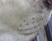 Hundebetreuung Wien / Tastsinn - Im Gesicht hat der Hund Vibrissen, welche starrer als normale Körperhaare sind und zudem tiefer in die Haut reichen. An der Basis der Vibrissen befinden sich zahlreiche Tastrezeptoren.