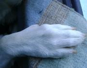 """Hundebetreuung Wien / Hundepfote - Die Vorderpfote besitzt 5 Zehen mit 5 Krallen und besteht aus Fusswurzelballen (die kleineren 4 Ballen an der """"Pfotenspitze""""), Sohlenballen (der dicke Laufballen) und dem Zehenballen. Der Zehenballen ist ein kleiner Ballen an der Rückseite."""