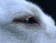 Hundebetreuung Wien / Hundeauge - Das Auge ist das Sehorgan des Hundes und gibt dem Hund die Möglichkeit sein Umfeld sichtbar wahrzunehmen. Hierbei wandeln Zellen im Auge das Licht in Nervenimpulse um.