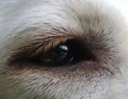 Hundebetreuung Wien / Hundeauge - Diese werden über Erregung der entsprechenden Nerven an das Gehirn weitergegeben. Im Gehirn wird dann aus diesen Impulsen ein Bild umgewandelt.