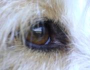 Hundebetreuung Wien / Hundeaugen - Hundeaugen sind kugelförmig und werden von Muskeln in der Augenhöhle nach allen Seiten bewegt, um das Gesichtsfeld zu erweitern.