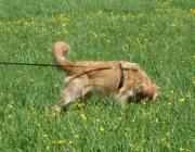 Hundetraining -  Fährtenarbeit / Die Nase auf dem Boden und hoch konzentriert: Für Hunde ist das Spurensuchen eine willkommene Abwechslung zum üblichen Gassigehen.