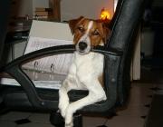 Hunde (Canidae) - Die Nase, das Riechorgan des Hundes, ist wesentlich empfindlicher als beim Menschen. Grob zu erkennen ist das schon an der Anzahl der Riechzellen, wobei es aber zwischen den Hunderassen erhebliche Unterschiede gibt.