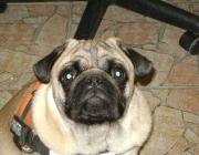 Hunde (Canidae) - Der Hund gehört zur Familie der Canidae, der sogenannten hundeartigen Raubtiere, und ist ein Rudeltier.