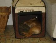 """Hunde (Canidae) - Die Ohren sind neben der Hörfähigkeit auch wichtig als """"Signalgeber"""" für die optische Kommunikation, die Stimmung des Hundes wird so signalisiert."""