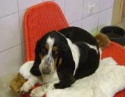 Hunde (Canidae) - Hunde sind im Übrigen auch in der Lage, über etwa 25 m Infraschallfrequenzen um die 1 bis 2 Hertz wahrzunehmen.