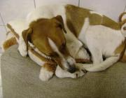 Hunde (Canidae) - Das Auge des Hundes enthält wie bei allen Säugetieren zwei verschiedene Lichtrezeptoren: die einen, die Stäbchen, sind für das Sehen von Graustufen zuständig. Die anderen, Zapfen genannt, für das Sehen von Farben.