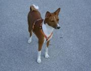 """Hunde (Canidae) - Für seine Riech- und Spürfähigkeiten ist der Bloodhound als """"Nonplusultra"""" bekannt."""