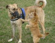 Hundebetreuung.co.at - Anatolischer Hirtenhund Schlag Kangal / Terrier Mix
