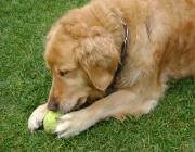 Hundebetreuung.co.at - Golden Retriever