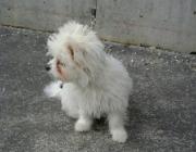 Urlaubsreisen mit dem Hund - Malteser