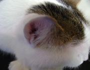 Katzenbetreuung Wien / Ohr der Katze - Das äußere Ohr die Pinna oder Ohrmuschel leitet Geräusche durch den Ohrkanal zum Trommelfell (tympanische Membrane). Im Gegensatz zum Menschen, der seine Ohren überhaupt nicht bewegen kann, besitzt die Katze 19 separate Muskeln, die es ihr ermöglichen, ihre Ohren in fast jede Richtung zu bewegen.