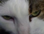 Katzenbetreuung Wien / Katzenauge - Katzen verfügen über eine reflektierende Schicht Tapetum lucidum hinter der Netzhaut im Auge, die jene Lichtanteile, die die Netzhaut durchdrungen haben, zurückspiegelt, so dass diese noch ein zweites Mal auf die Netzhaut treffen. Diese Schicht bewirkt neben einer verbesserten Dämmerungssicht auch eine Reflexion des auffallenden Lichts auf die Augen in der Dunkelheit (vergleiche auch Katzenauge als umgangssprachliche Bezeichnung für Reflektoren).