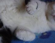 Katzenbetreuung Wien / Vorderpfoten - Die Vorderpfote besteht aus fünf Zehenballen, fünf Krallen und zwei großen Sohlenballen. Die fünfte Kralle funktioniert wie ein Daumen und dient zum Klettern und zum Festhalten der Beute.