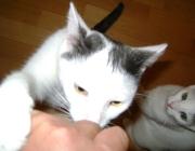 Felis silvestris catus - Homo sapiens / Obwohl es ihnen gefällt, in unserem Schoß zu liegen und gekrault zu werden, haben sie auch ein Stück Wildheit bewahrt und sich nicht vom Menschen verbiegen lassen.