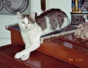 Katzen (Felis silvestris catus) - Zu den Verwandten unserer Hauskatze zählen Löwe, Tiger, Leopard, Puma, Luchs und auch eine Reihe kleinerer Wildkatzen, wie Ozelot, Rohrkatze und die Schleichkatzen.