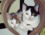 Katzen (Felis silvestris catus) - Es wäre naheliegend, zu glauben, unser Stubentiger würde die in Europa heimische Wildkatze als engsten Vorfahren haben.