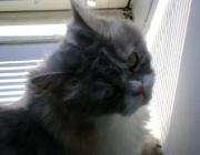 Katzen (Felis silvestris catus) - Ob eine Katze eher dem geselligen oder dem einzelgängerischen Leben zugetan ist, entscheidet sich bereits in der frühen Jugendentwicklung.