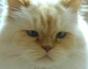 Katzen (Felis silvestris catus) - Es ist günstig, einen Sitzplatz und ein Spielzeug auf dem Kratzbaum zu befestigen, um die Katze anzulocken.