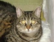 Katzen (Felis silvestris catus) - Aber Wissenschafter haben herausgefunden, dass die in Nordafrika lebende Nubische Falbkatze, eine schlanke Wildkatze, mit beige-grauem, gestreiftem Fell die echte Ahnin unserer Hauskatze ist.