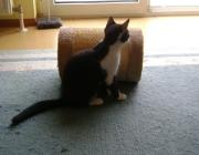 Katzenbetreuung Wien -  Katzenbabys / Sie hilft ihnen mit sanften Stößen der Nase, an ihre Zitzen zu gelangen.