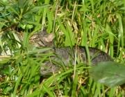 Felis silvestris f. catus Service Wien - Hauskatzen Service Wien