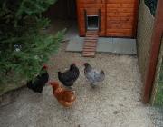 Kleintiere / Hühner - Das männliche Haushuhn nennt man Hahn oder Gockel, den kastrierten Hahn Kapaun. Das Weibchen heißt Huhn oder Henne, Jungtiere führende Hennen Glucke. Die Jungtiere heißen allgemein Küken.