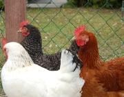 Kleintiere / Hühner - Im asiatischen Raum gab es schon ca. 3000 v. Chr. die ersten domestizierten Haushühner.