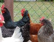Kleintiere / Hühner - In Ägypten galten die Hühner aber eher als Kulttiere, da sie mit ihrem morgendlichen Hahnenschrei den Sonnengott (Ra) priesen.