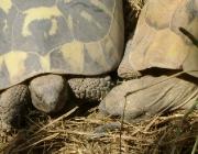 Kleintiere / Schildkröten - Die Schildkröten (Testudinata, Testudines, ehemals auch Chelonia) sind eine Ordnung der Reptilien (Reptilia) und erschienen erstmals vor mehr als 220 Millionen Jahren im Karnium (Obertrias).