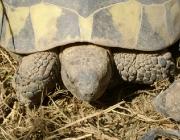 Kleintiere / Schildkröten - Es gibt verschiedene Arten von Schildkröten. Die wichtigsten sind Meeresschildkröten, Süßwasserschildkröten und Landschildkröten.