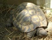 Kleintiere / Schildkröten - Mit Ausnahme der Polargebiete besiedeln Schildkröten alle Kontinente. Sie kommen in verschiedenen Landstrichen vor, in tropischen Wäldern und Sümpfen, in Wüsten und Halbwüsten, Seen, Tümpeln, Flüssen, in Brackwassergebieten und in Meeren, in gemäßigten, tropischen und subtropischen Klimazonen.