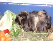 Kleintiere / Hamster - Die Hamster (Cricetinae) sind eine Gruppe der Mäuseartigen und werden meist den Wühlern zugeordnet.