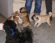 """Hundebetreuung Wien - Welpen / Als Welpe bezeichnet man """"das Junge von Hunden, solange es noch gesäugt wird"""",auch allgemein die Jungtiere von Raubtieren, also prinzipiell auch die Kätzchen von Katzenartigen."""