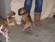 Hundebetreuung Wien - Welpen / Hundewelpen sind