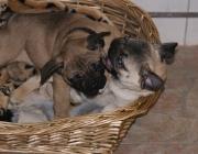 Hundebetreuung Wien - Welpen / In den ersten Lebenstagen orientieren sich die Hundekinder ausschließlich über ihren Tast- und Geruchssinn.