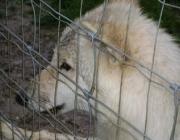 Wolf (Canis lupus) - Timberwölfe (Canis lupus lycaon), Bei der Aufzucht der Jungen sind alle Mitglieder eines Rudels beteiligt.