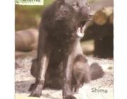 Wolf (Canis lupus) - Timberwölfe (Canis lupus lycaon), Der Timberwolf, eine Unterart des Wolfes, erreicht eine Kopf-Rumpf-Länge von 120 bis 140 cm, eine Schulterhöhe von 70 bis 90 cm, eine Schwanzlänge von 40 bis 50 cm und ein Gewicht von 40 bis 60 kg.