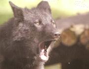 Wolf (Canis lupus) - Timberwölfe (Canis lupus lycaon), Dabei werden die Männchen etwas größer und schwerer als die Weibchen. Das Fell ist buschig. Die Fellfarbe reicht von weiß, hellgrau über cremefarben bis zu schwarz, wobei die Färbung im Winter etwas heller ist. Der recht breite Kopf sitzt auf einem massigen Hals.